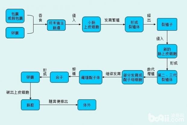 图2  弓形虫在终末宿主体内发育及有性繁殖过程