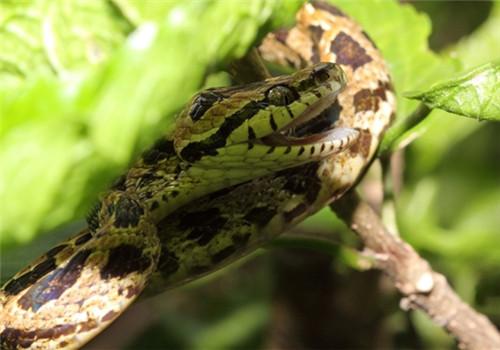 繁花林蛇的食物要求