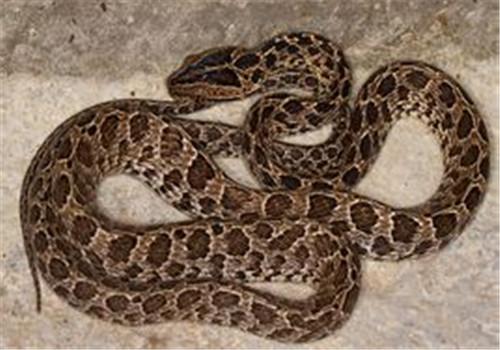 繁花林蛇的外形特点