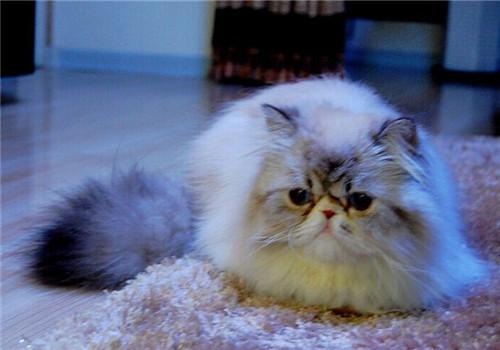 给喜马拉雅猫选择沐浴香波