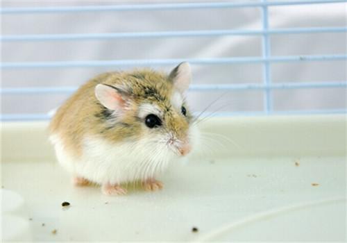 孕妇可以饲养仓鼠吗