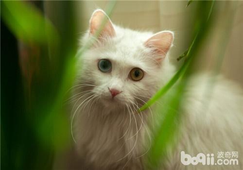 注射猫三联所应注意的事项及免疫程序