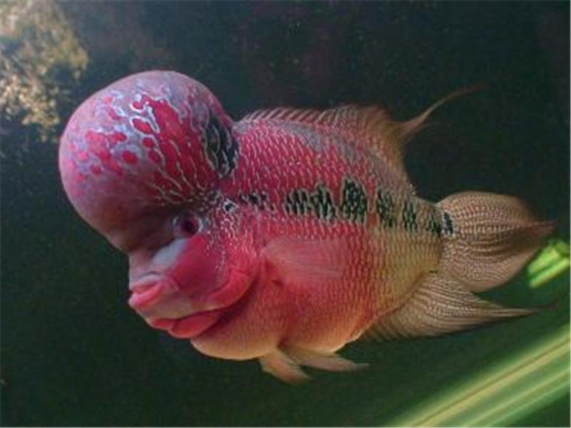 观赏鱼烂鳍病的治疗原则