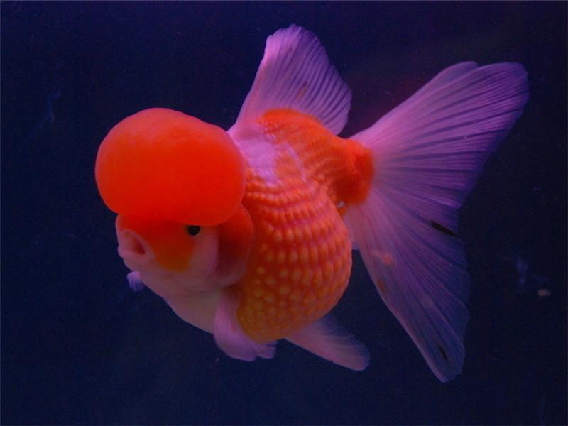 观赏鱼淋巴囊肿的治疗原则
