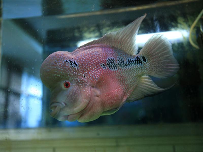 观赏鱼体表溃疡的治疗原则