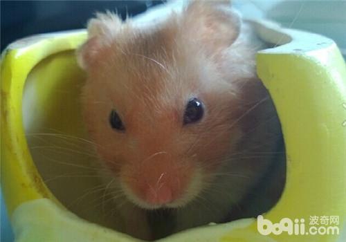 为什么冬天仓鼠更容易便秘