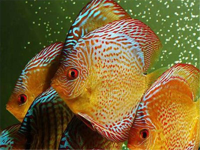 观赏鱼头穿孔的治疗原则
