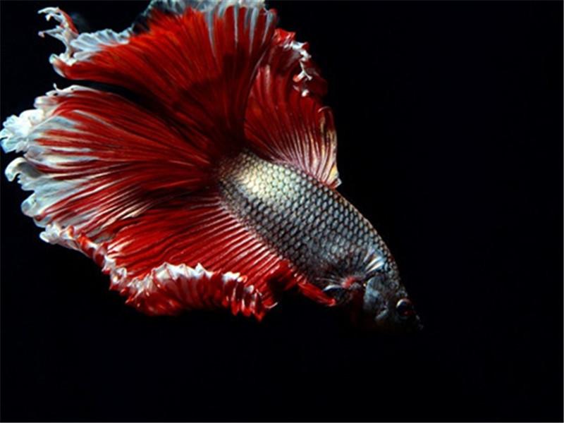观赏鱼锚头蚤病的治疗方法