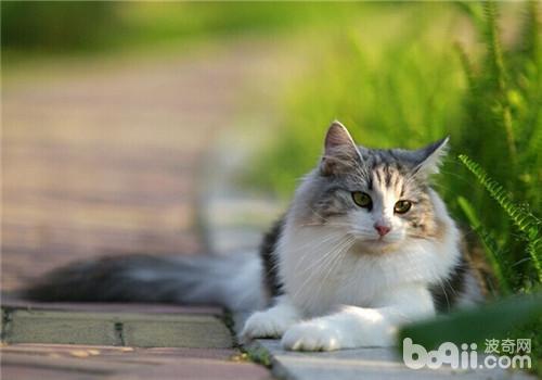 挪威森林猫图片