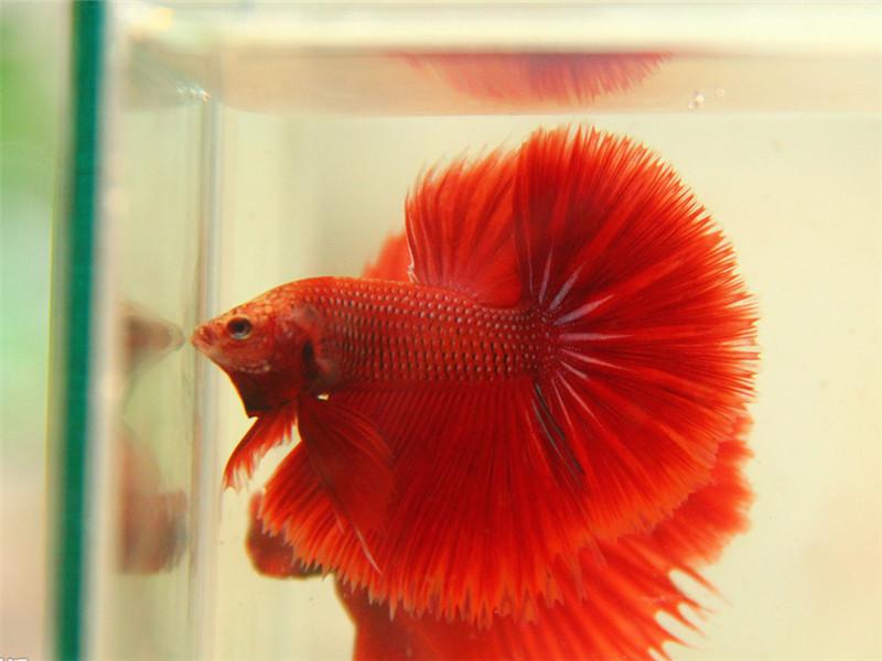 观赏鱼三代虫病的防治措施