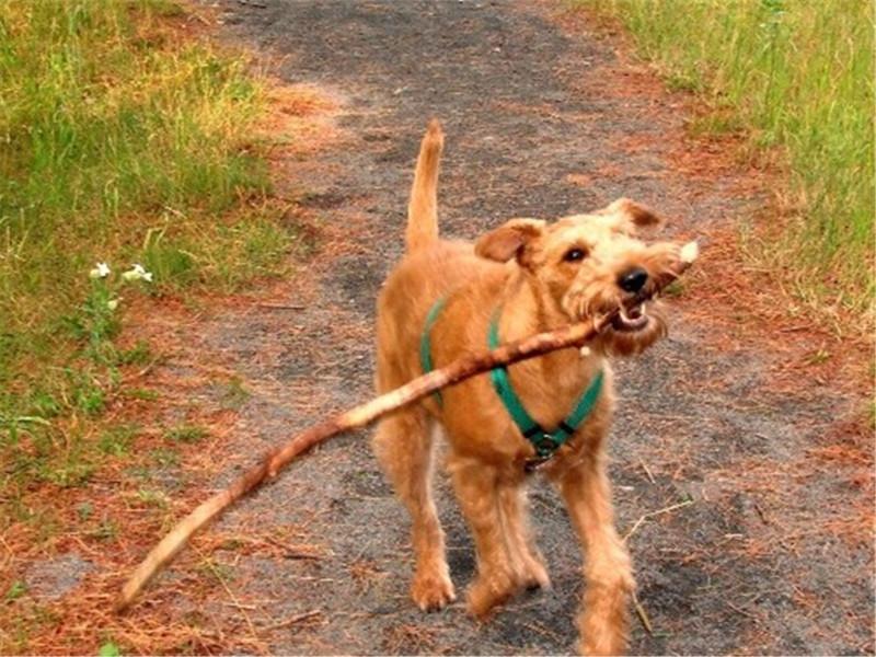 犬肝吸虫病的诊断及防治