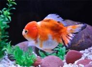 观赏鱼气泡病的治疗原则