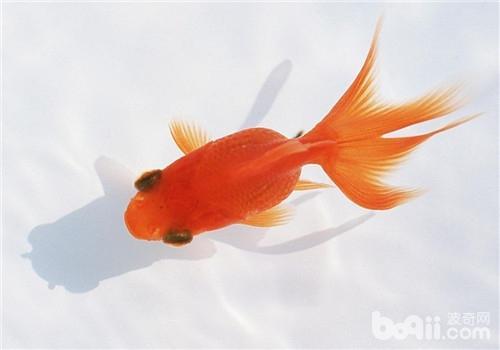picsart素材金鱼