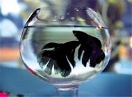 观赏鱼红线虫病的治疗方法