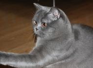 猫传染性贫血有何流行特点