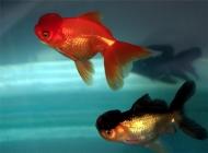 观赏鱼水霉病的病因分析