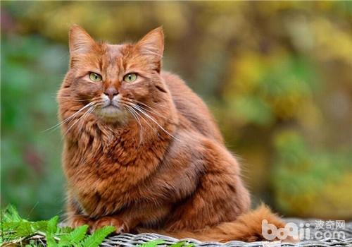 猫内寄生虫病,猫内寄生虫病价格、猫内寄生虫病多少钱一只、猫内寄生虫病好养吗_波奇宠物品种大全