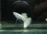 观赏鱼腹水的治疗方法
