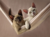 猫咪体外常见的外寄生虫之疥癣