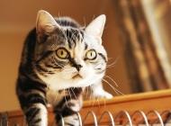 引发猫杯状病毒的原因有哪些