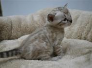 猫瘟的流行特点有哪些