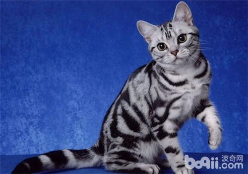 想要猫咪陪自己更长时间?以下十种最长寿的喵星人可以考虑下