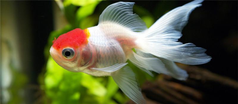 观赏鱼白头白嘴病的症状