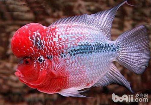 观赏鱼细菌性肠炎的预防措施