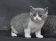 猫咪支气管肺炎的临床症状