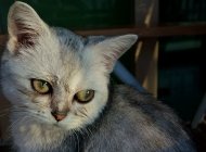 如何治疗猫病毒性上呼吸道感染