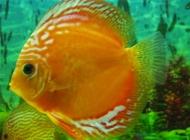 观赏鱼斜管虫病的治疗注意事项