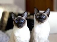 猫咪肺炎的治疗原则