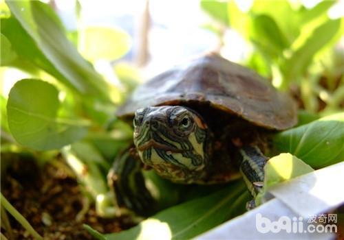 龟白眼病,龟白眼病价格 龟白眼病多少钱一只 龟白眼病好养吗 波奇宠