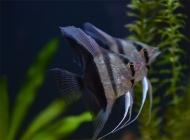 观赏鱼突眼症的疾病详述