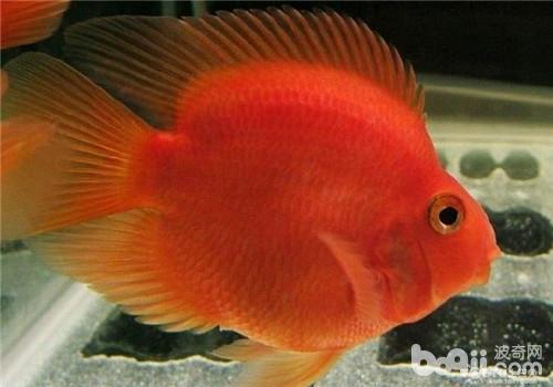 观赏鱼鱼孢虫病的治疗方法