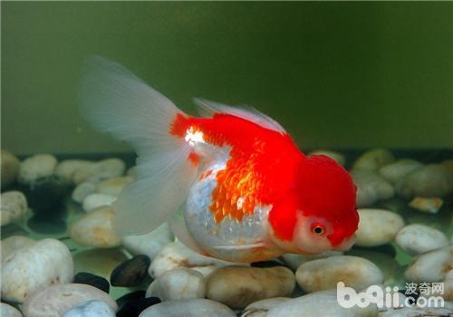 观赏鱼鱼鳔病的症状表现