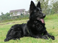 比利时牧羊犬的品种简介