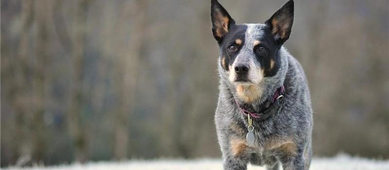澳洲牧牛犬   澳洲牧牛犬又叫昆士蓝赫勒犬(Australian Queensland Heeler)、蓝色赫勒犬(Blue Heeler),在澳洲当地,该犬是从事长距离驱赶牛群前往市场的好帮手,并且由于澳洲的特殊环境,澳洲牧牛犬非常对于荒凉的野外生活环境也非常适应。   作为一个具有多种特性的品种,澳大利亚牧牛犬于1980年5月1日在美国养犬俱乐部被登记注册,并于1980年9月1日取得工作犬协会的展示资格。后来转入1983年1月1日正式成立的牧羊犬协会。澳大利亚牧牛犬的警觉、机智、看守能力、勇敢、诚实