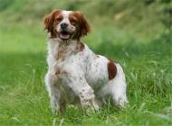 不列塔尼猎犬的品种简介