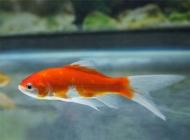 观赏鱼结核病概述