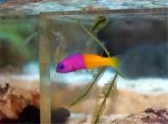 观赏鱼鱼虱病的治疗方法