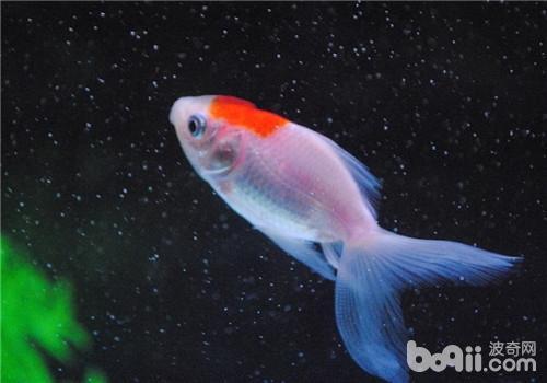 观赏鱼结核病的症状表现