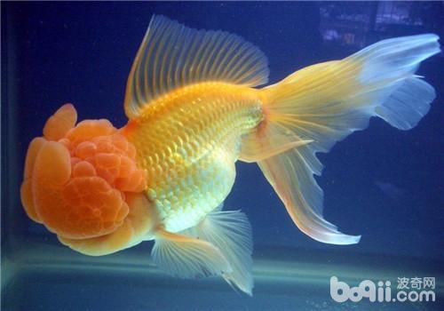 观赏鱼结核病的治疗方法