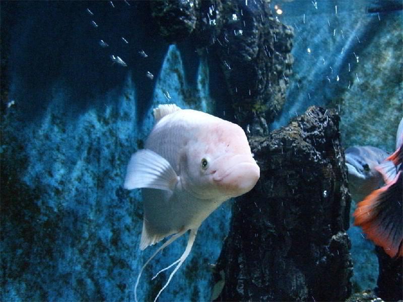 观赏鱼出血热的治疗原则