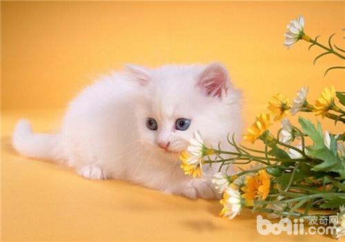 猫咪胸膜炎的症状