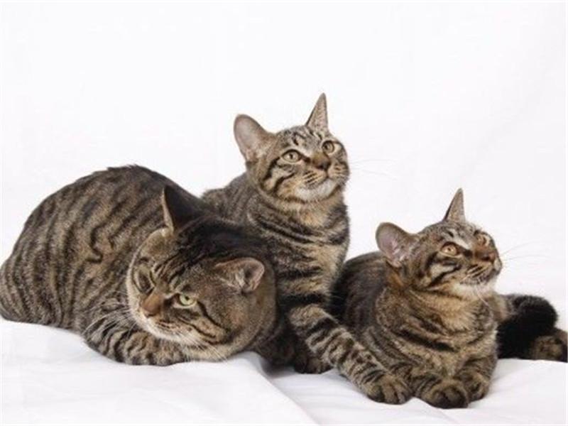 引起貓咪口炎的原因分析