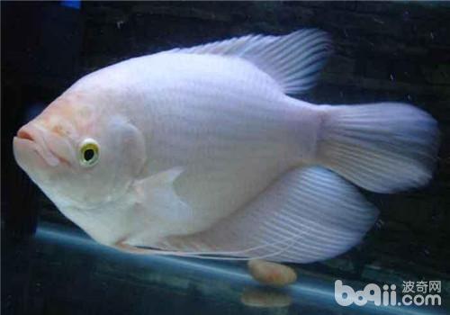 观赏鱼水蛭病的症状表现