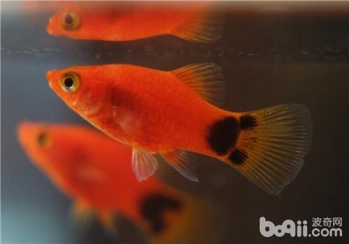 观赏鱼云眼的治疗方法