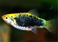 观赏鱼云眼病的病因及症状