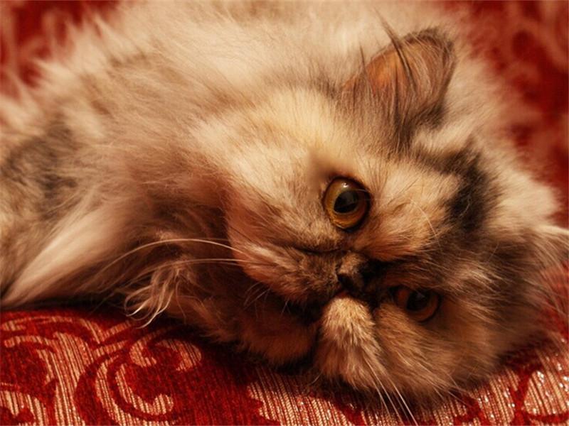 绦虫病(Tapeworm)是猫咪常见的内寄生虫病之一,这种虫体主要寄生在猫的肠道内。一般身上有跳蚤的猫咪几乎都有绦虫,仔细观察猫咪的粪便,肉眼可清晰的看到黄白色如芝麻粒大小的绦虫结片。此病易造成猫咪营养不良,严重至恶性贫血。 [详细]